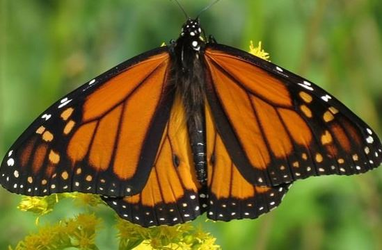 monarch-butterfly-1056345_960_720